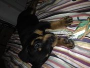 11 week old Rottweiler available